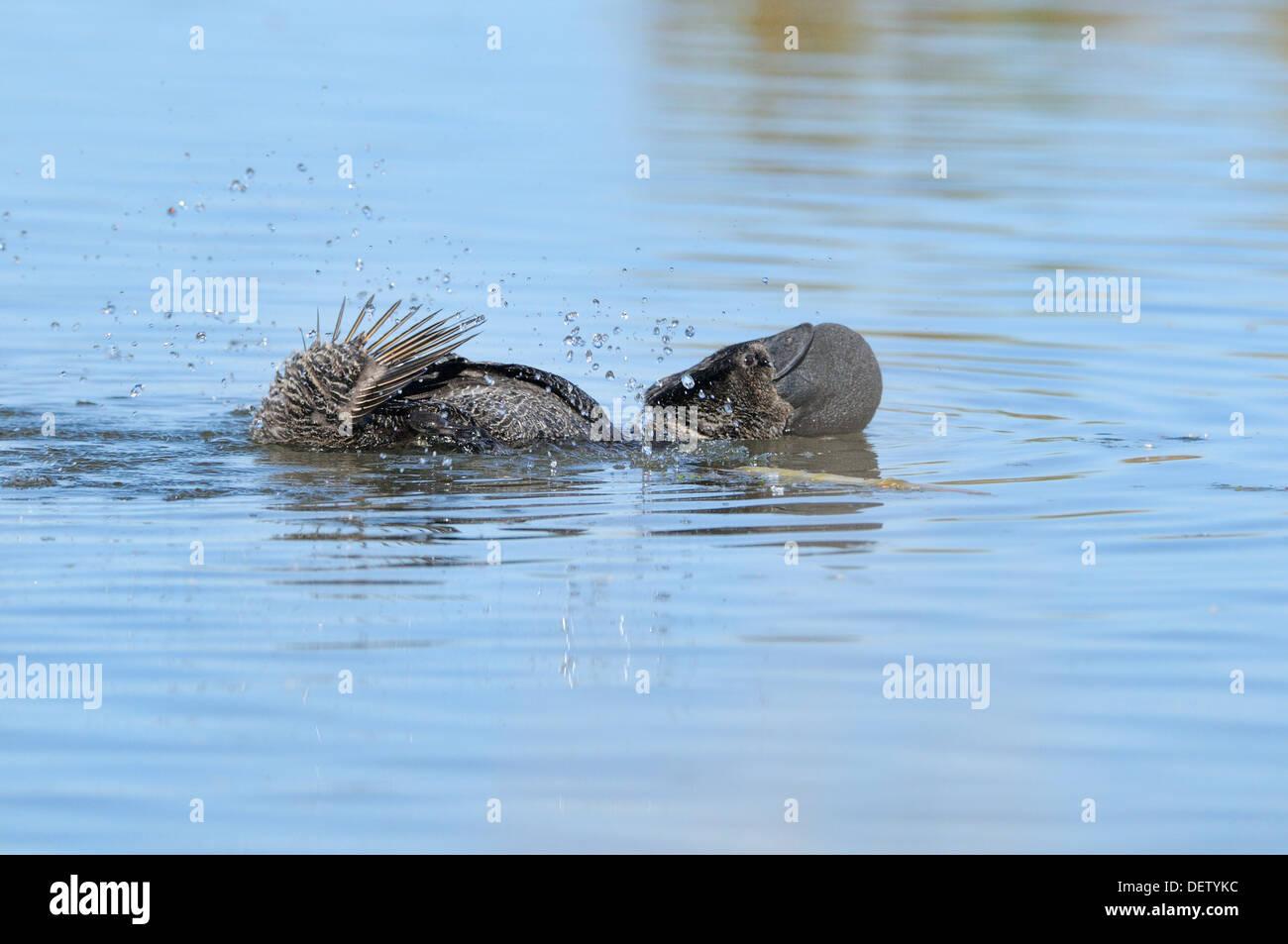 Moschus-Ente Biziura Lobata männlichen zeigt Bilder aus dem Monat in Victoria, Australien Stockfoto