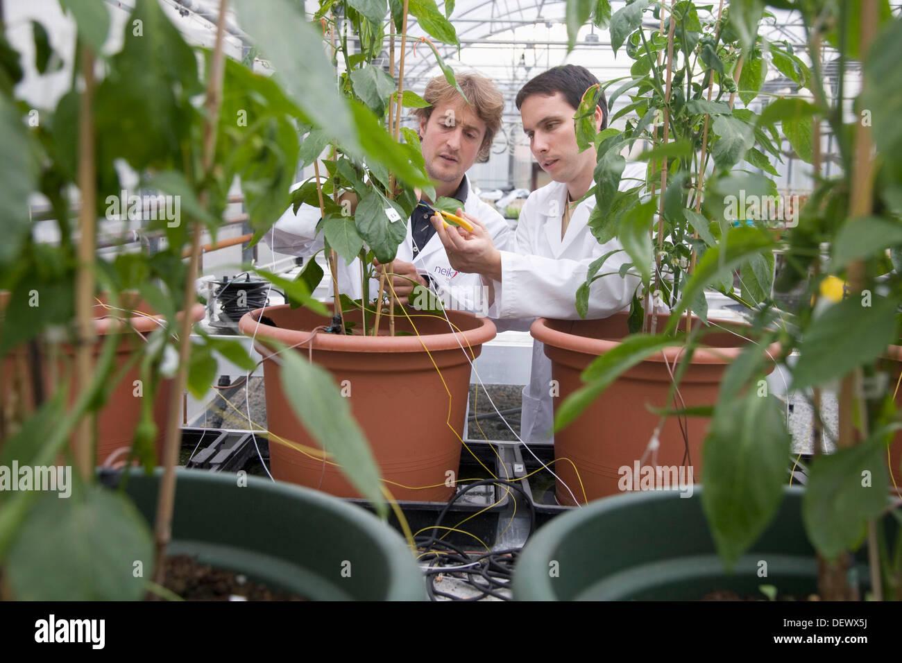 Studium der Gernika Pfeffer Physiologie im Gewächshaus, Departamento de Producción y Protección Vegetal Neiker Tecnalia, Stockbild