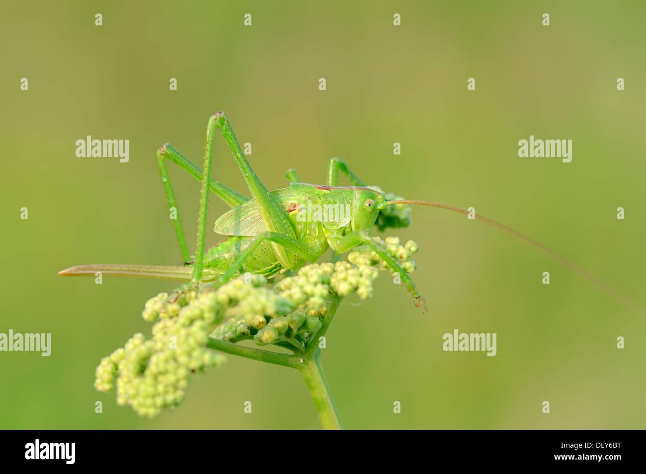 Große grüne Bush Cricket (Tettigonia Viridissima), Weiblich, larval Stadium, North Rhine-Westphalia, Germany Stockbild