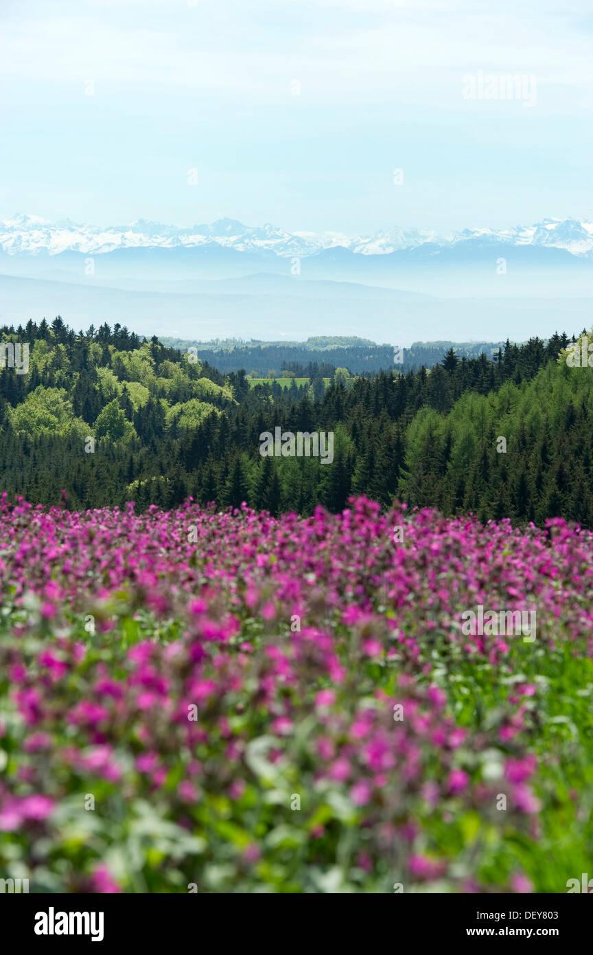 Wiese mit Blumen im Frühling, in der Nähe von Hoechenschwand, Schweizer Alpen an der Rückseite, Schwarzwald, Baden-Württemberg Stockbild