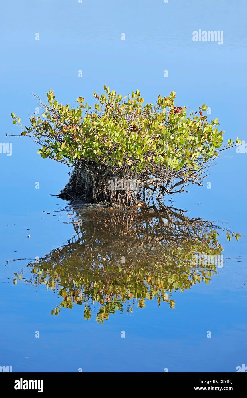 Rote Mangroven (Rhizophora Mangle), mit Spiegelungen im Wasser, Merritt Insel, Florida, Vereinigte Staaten von Amerika Stockbild
