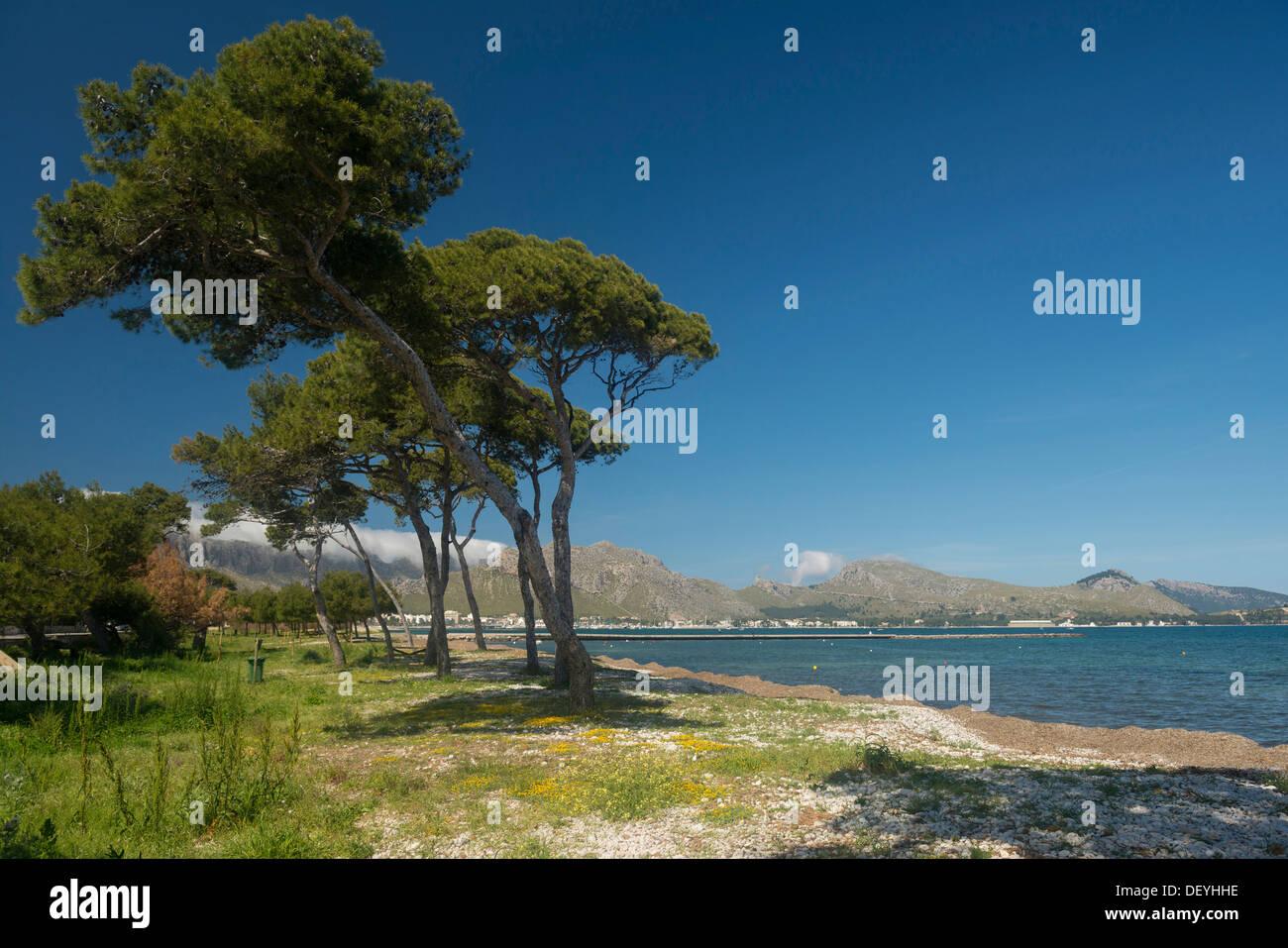 Kiefern und das Meer, Bucht von Pollenca, Port de Pollenca, Mallorca, Balearen, Spanien Stockbild