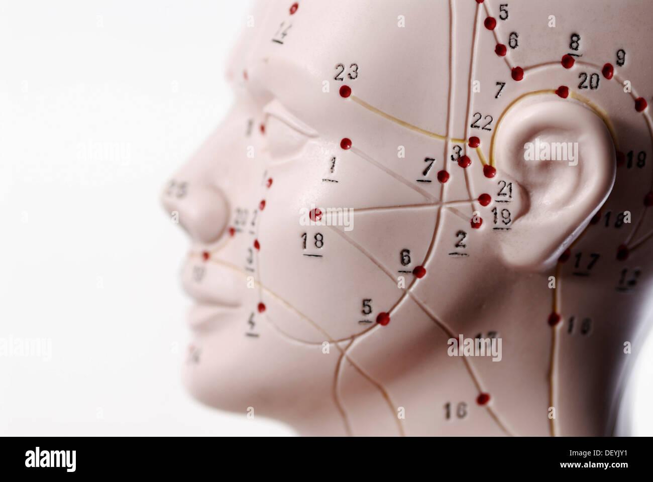 Anatomisches Modell, Kopf mit Akupunktur-Punkte Stockfoto, Bild ...