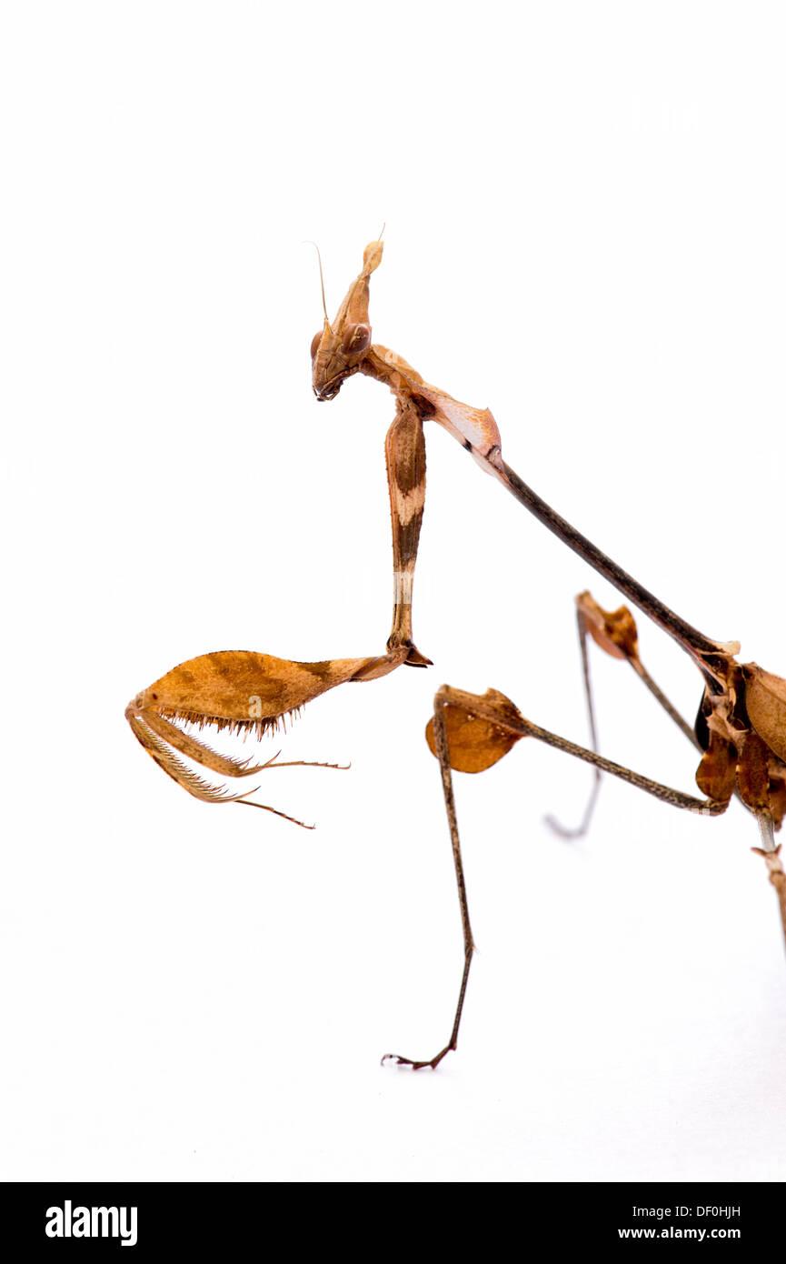 Gongylus Gongyloides. Wandernde Violine Mantis. Reich verzierte Mantis. Indian rose mantis Stockbild
