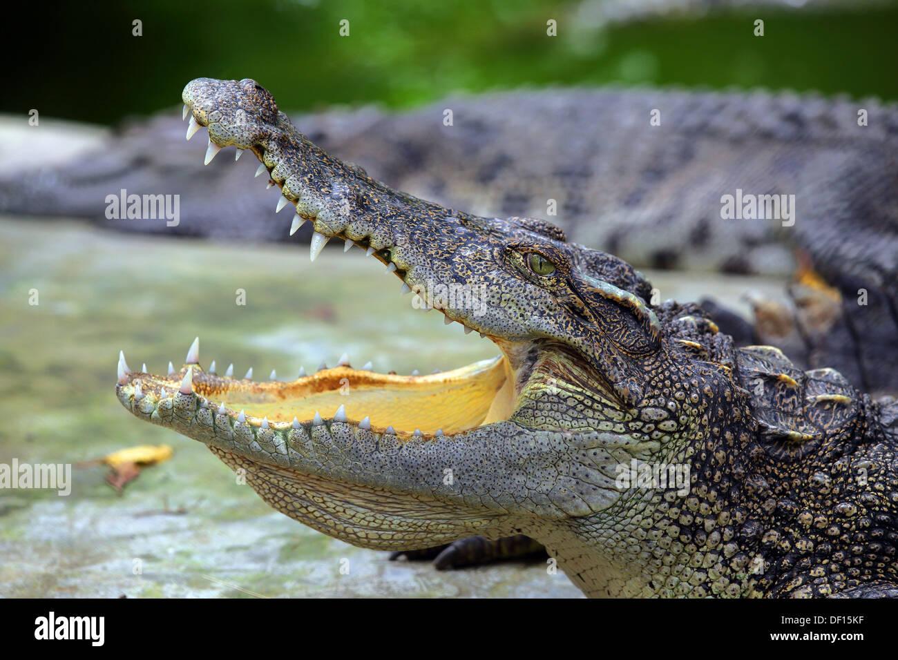 Krokodil mit Backen öffnen Stockbild
