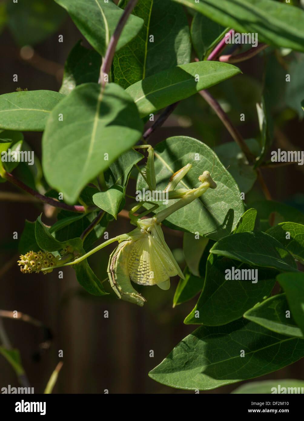 Eine grüne Gottesanbeterin, Mantodea, klammert sich an einer Anlage, während seine Flügel, die es tut, wenn sie bedroht werden. Oklahoma, USA. Stockbild