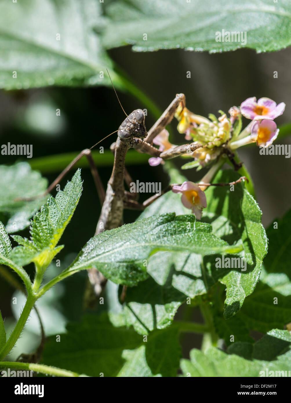 Eine Gottesanbeterin, Mantodea, Jagd von einem geißblatt Anlage. Oklahoma, USA. Stockbild