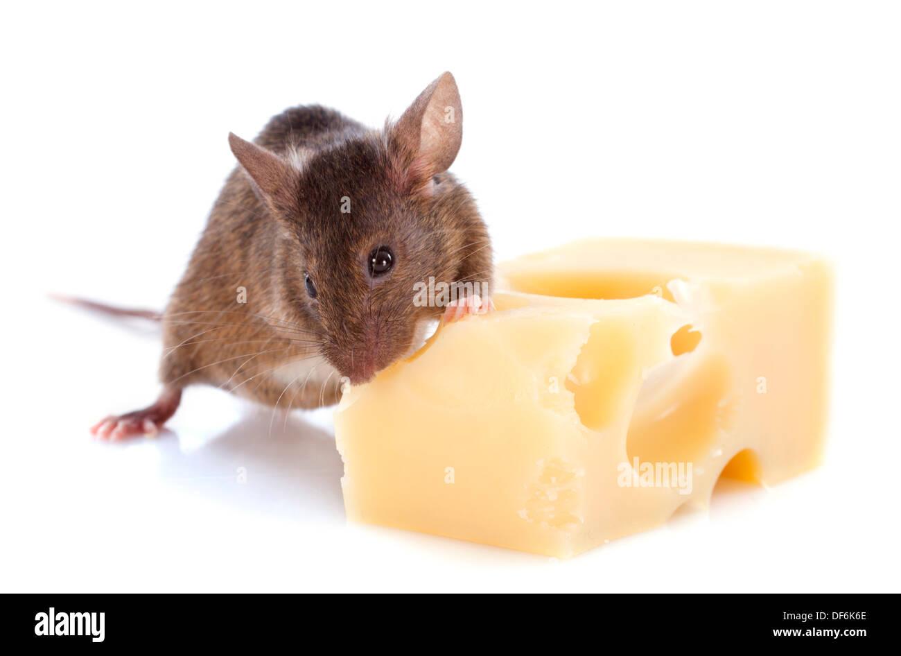 Maus und Käse vor weißem Hintergrund Stockfoto, Bild: 60997734 - Alamy