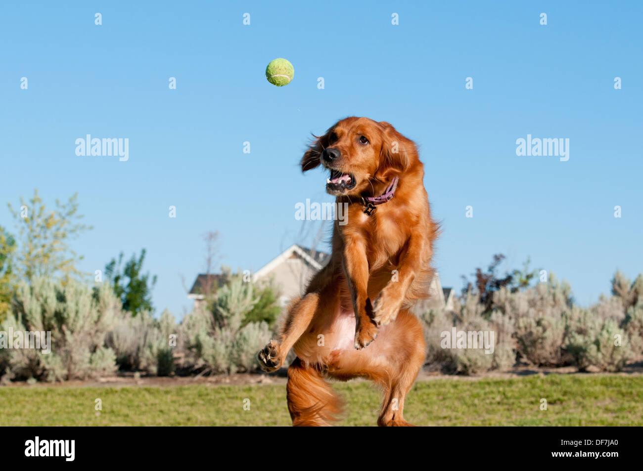 Golden Retriever fang Tennis ball Stockbild