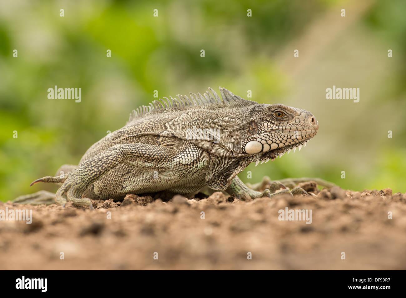 Stock Foto von einem grünen Leguan stellte an einem Strand im Pantanal. Stockfoto