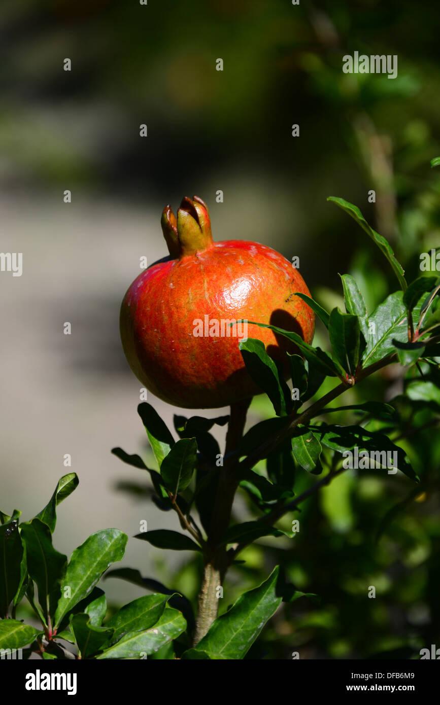 Granatapfel-Frucht. Stockbild