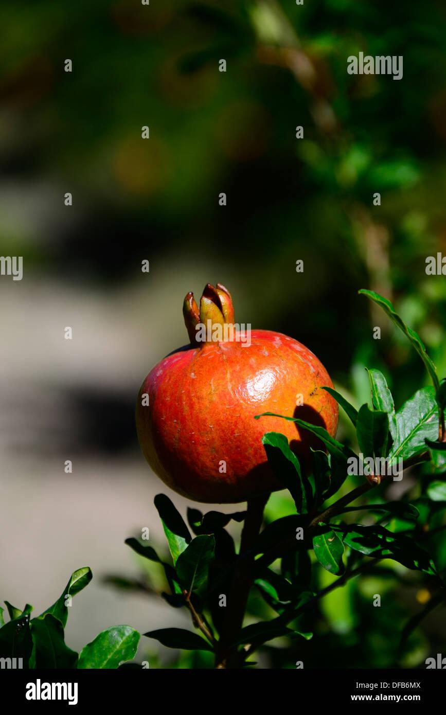 Ein Pomegrante auf dem Baum. Stockbild