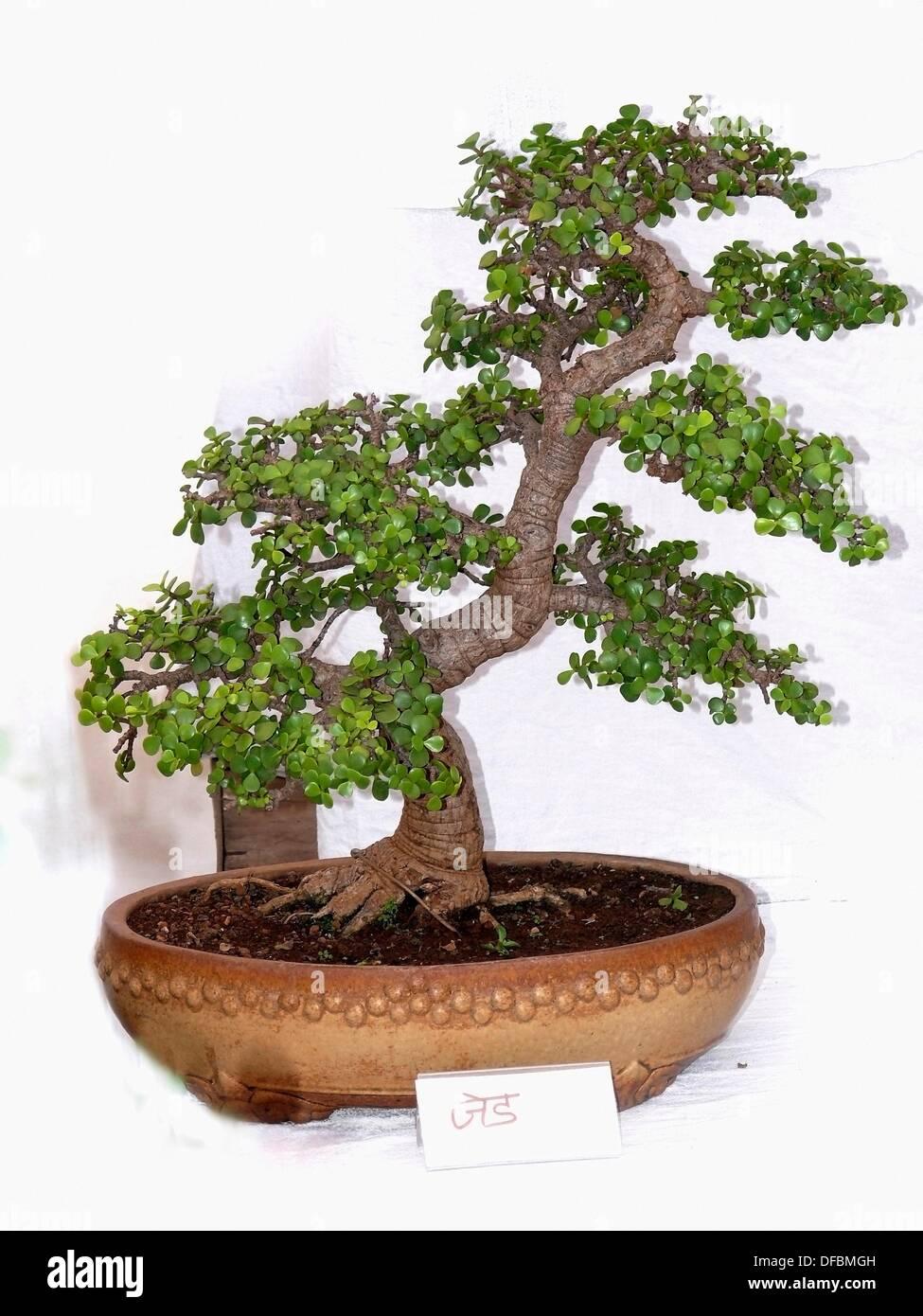 bonsai baum garten bonsai baum garten bonsai baum garten neuesten design bonsai baum garten. Black Bedroom Furniture Sets. Home Design Ideas