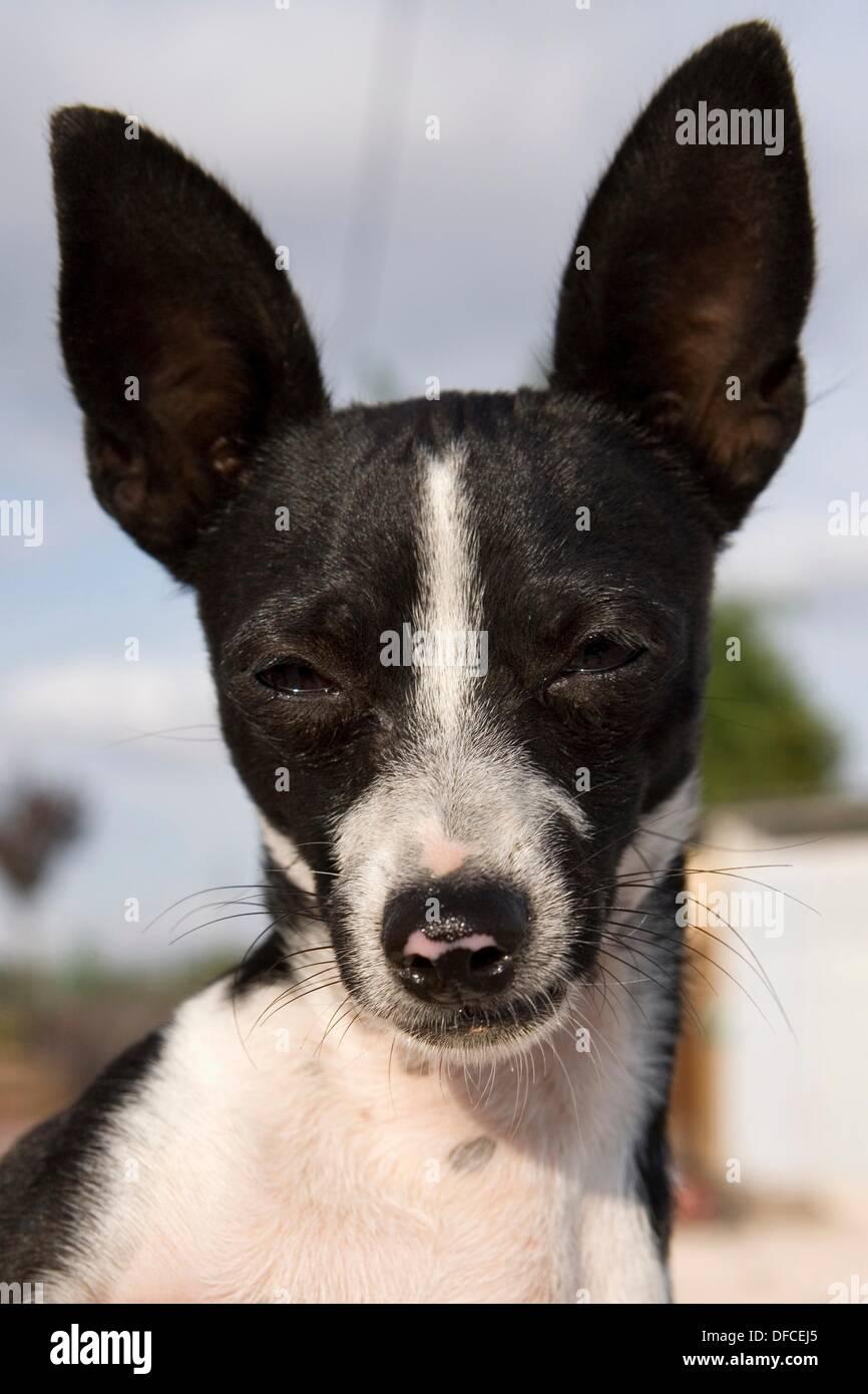 retrato-de-perro-ratonero-valenciano-dfcej5.jpg