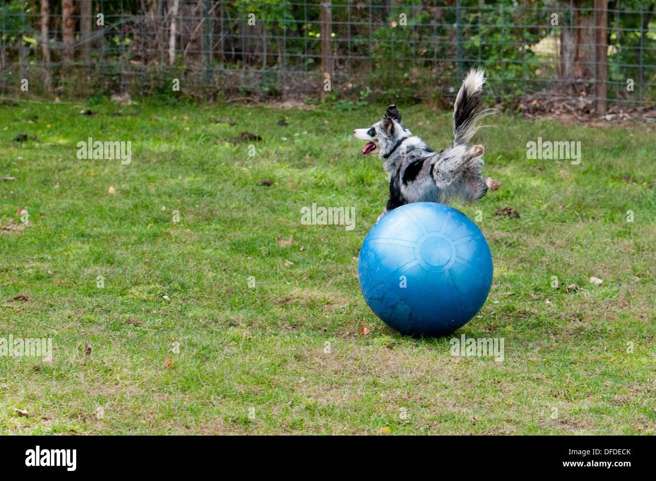Border Collie spielen mit großen Kugel Stockbild