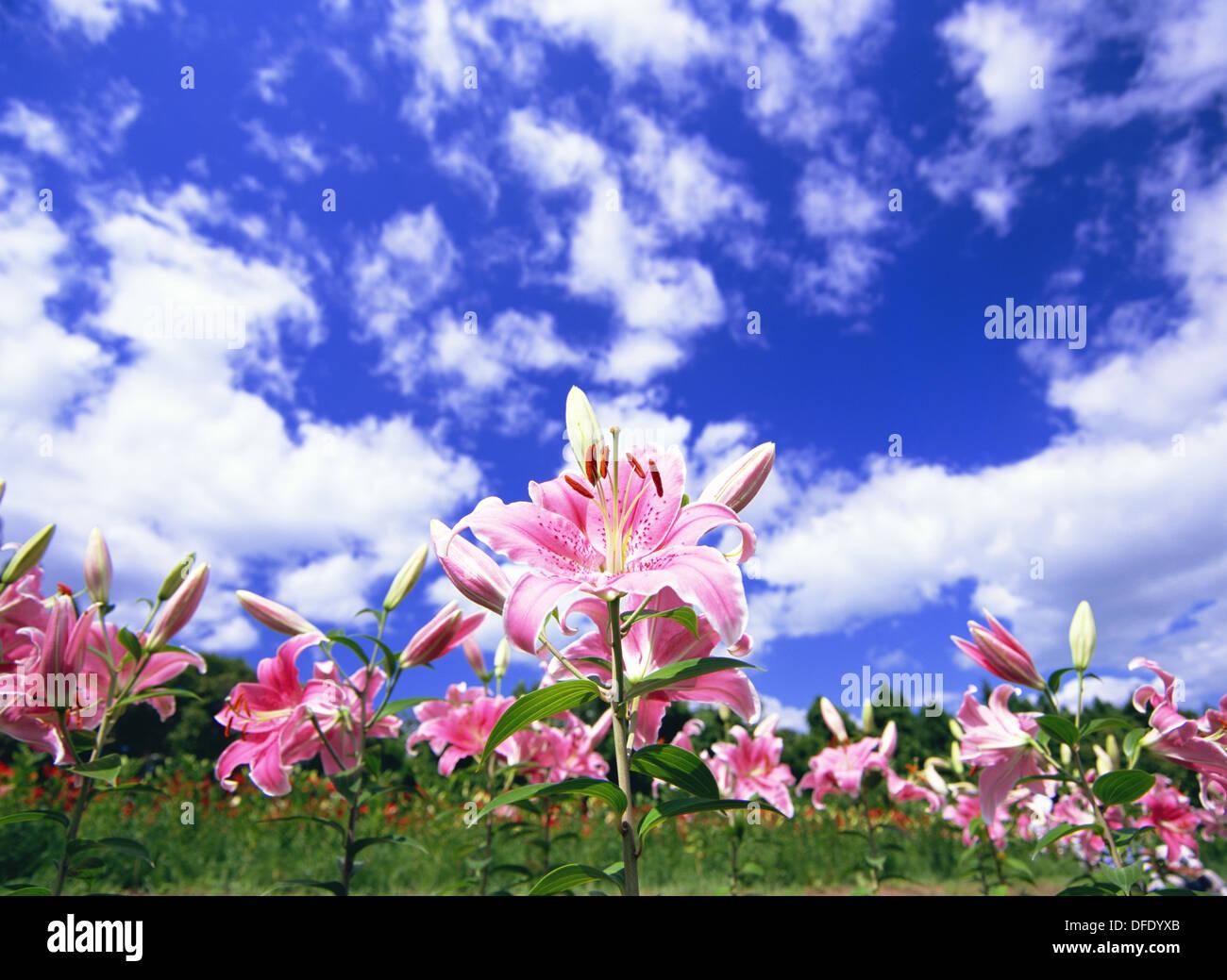 Ichihasama Lily Garden Stockfotos Ichihasama Lily Garden Bilder