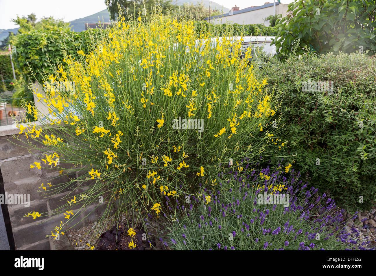 Gemeinsamen Ginster Strauch Cytisus Scoparius, Sy Sarothamnus Scoparius wächst im Königreich Garten, Abergavenny Stockfoto