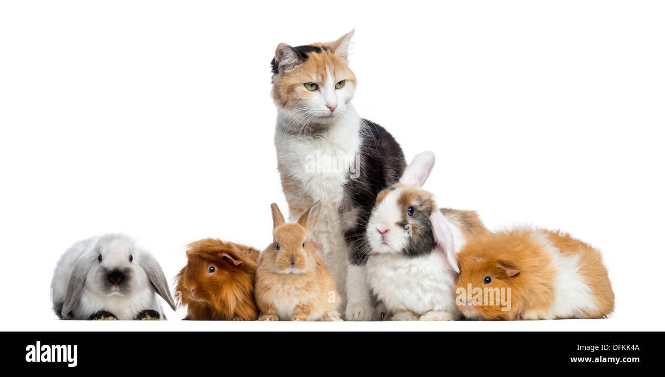 Europäisch Kurzhaar Katze mit Kaninchen und Meerschweinchen in einer Reihe vor weißem Hintergrund Stockfoto