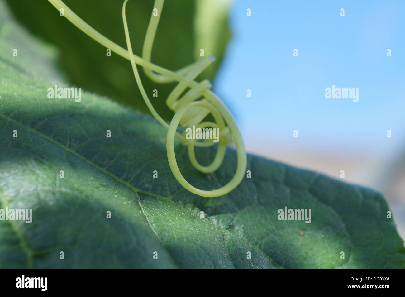Ranke auf einer Gurke-Pflanze Stockbild