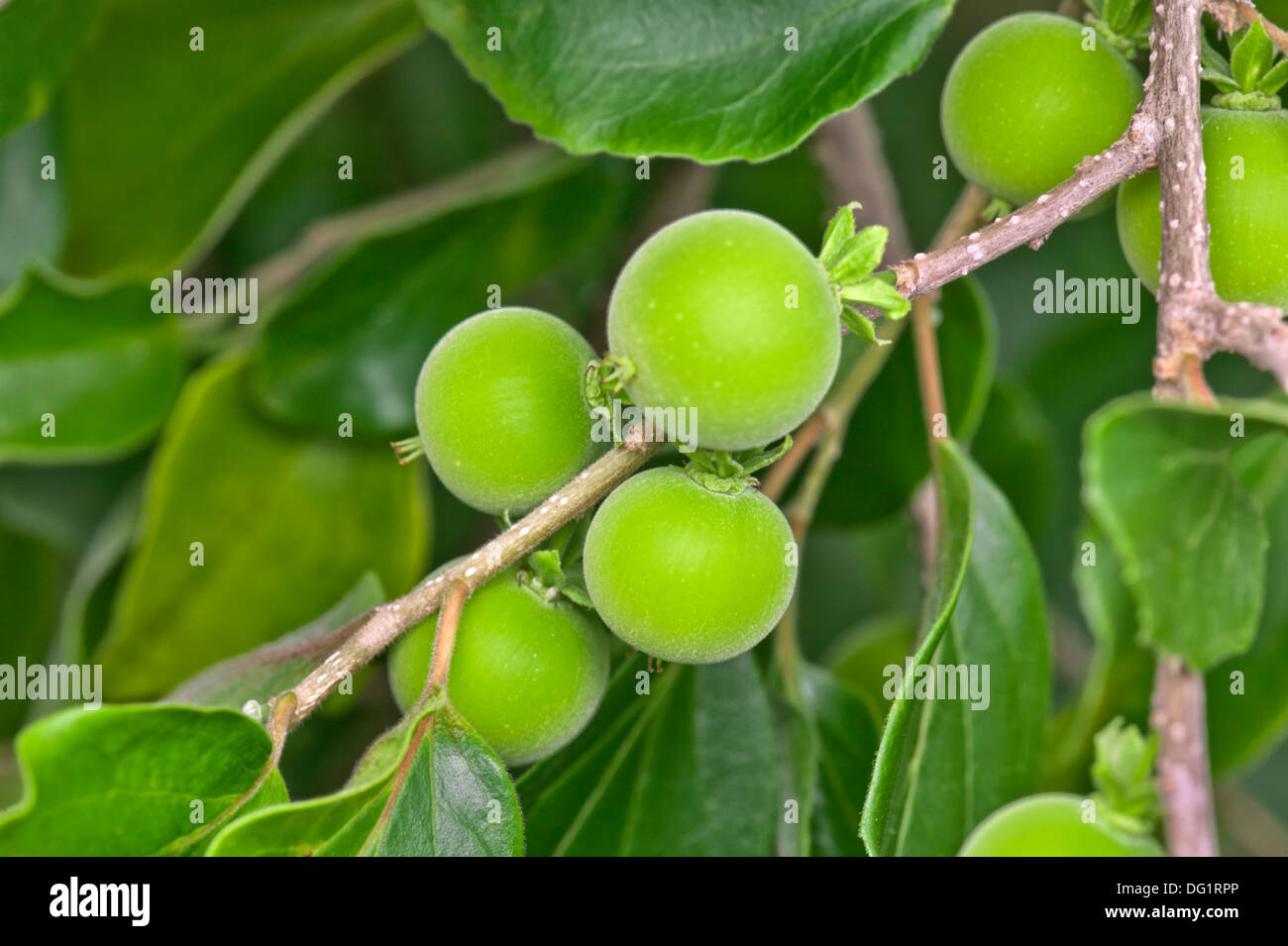 Unreife Ketembilla Früchte am Zweig. Stockbild