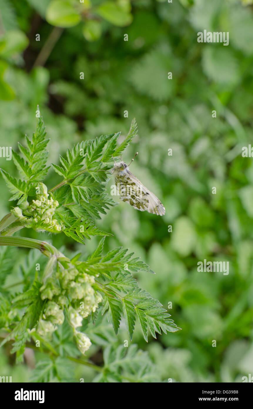 Weibliche Orange-Tip Schmetterlinge, Anthocharis Cardamines, ruht ...