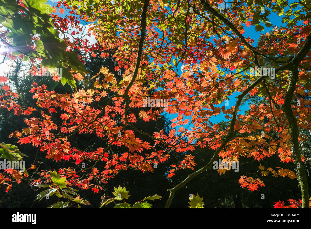 Acer-Baum in Herbstfarben in National Arboretum, Westonbirt nr Tetbury Glos. Engalnd UK. von der Forestry Commission verwaltet. Stockbild