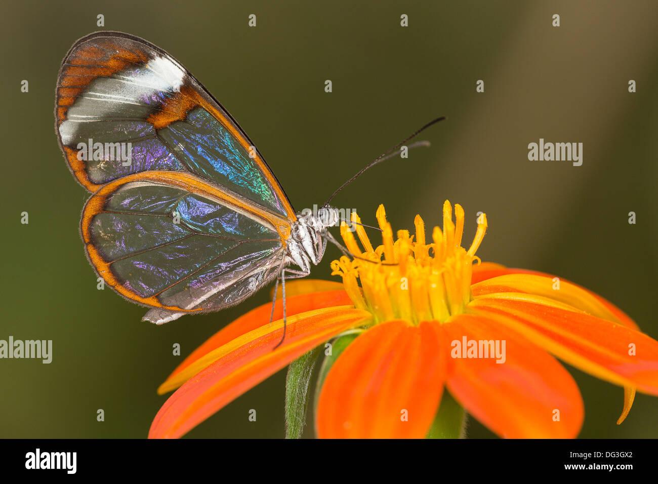 """Ein """"Glas Wing"""" Schmetterling ernährt sich von einer Blume in einem Schmetterlingshaus in Somerset Stockbild"""