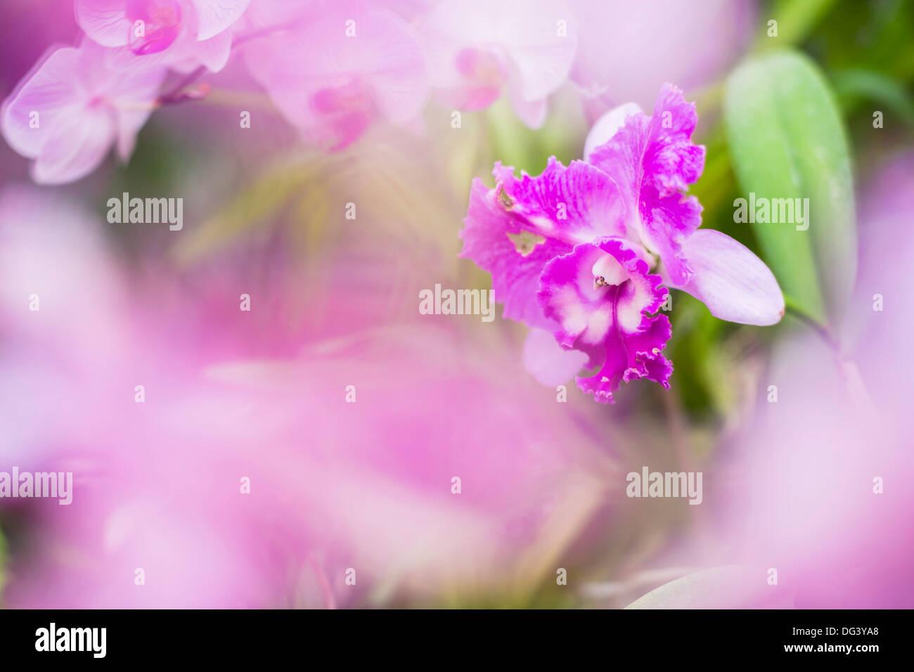 Orchideen im Orchideenhaus, Kandy Royal Botanical Gardens, Peradeniya, Kandy, Sri Lanka, Asien Stockbild