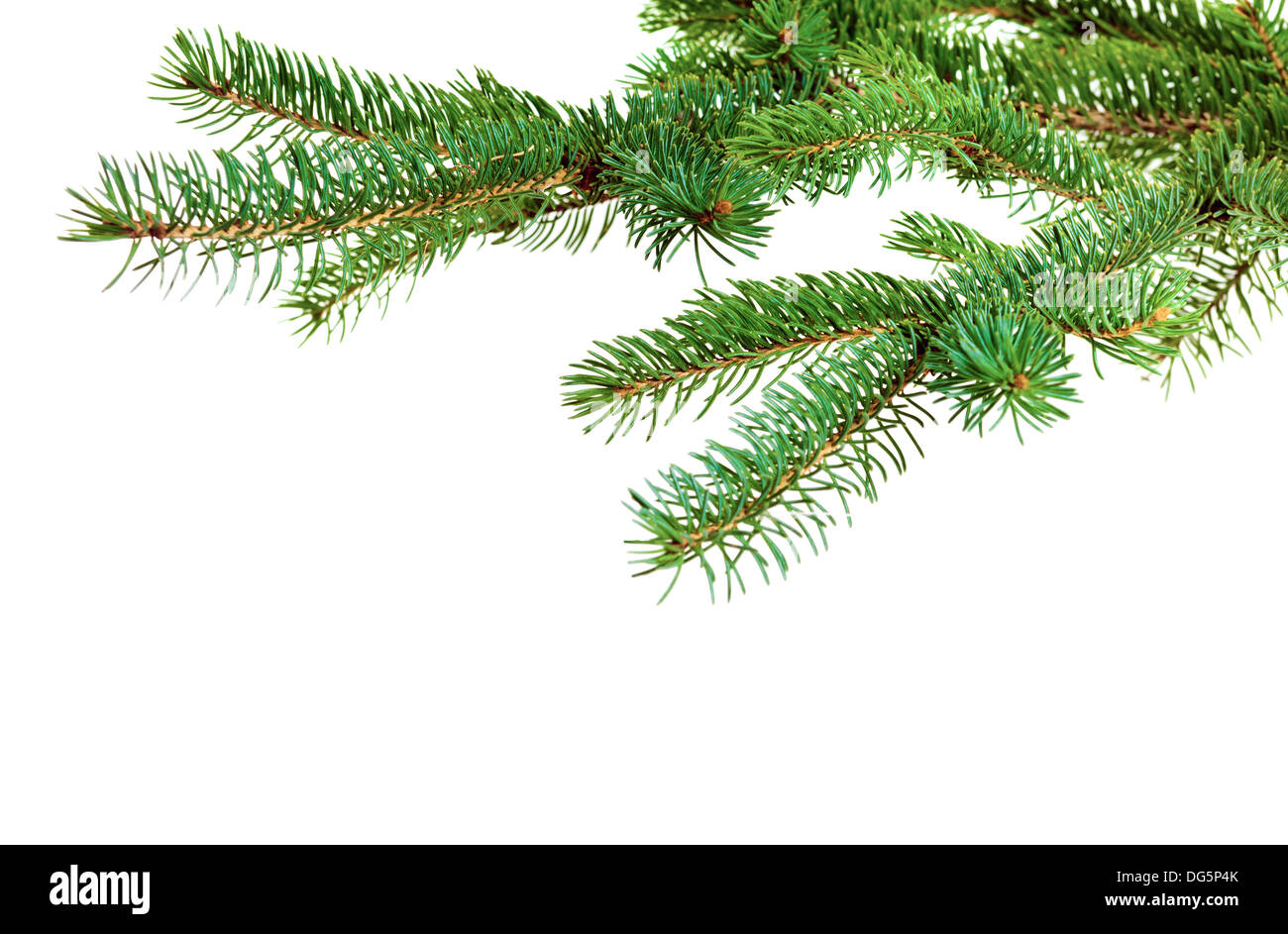 Zweig der Weihnachtsbaum auf weißem Hintergrund Stockbild