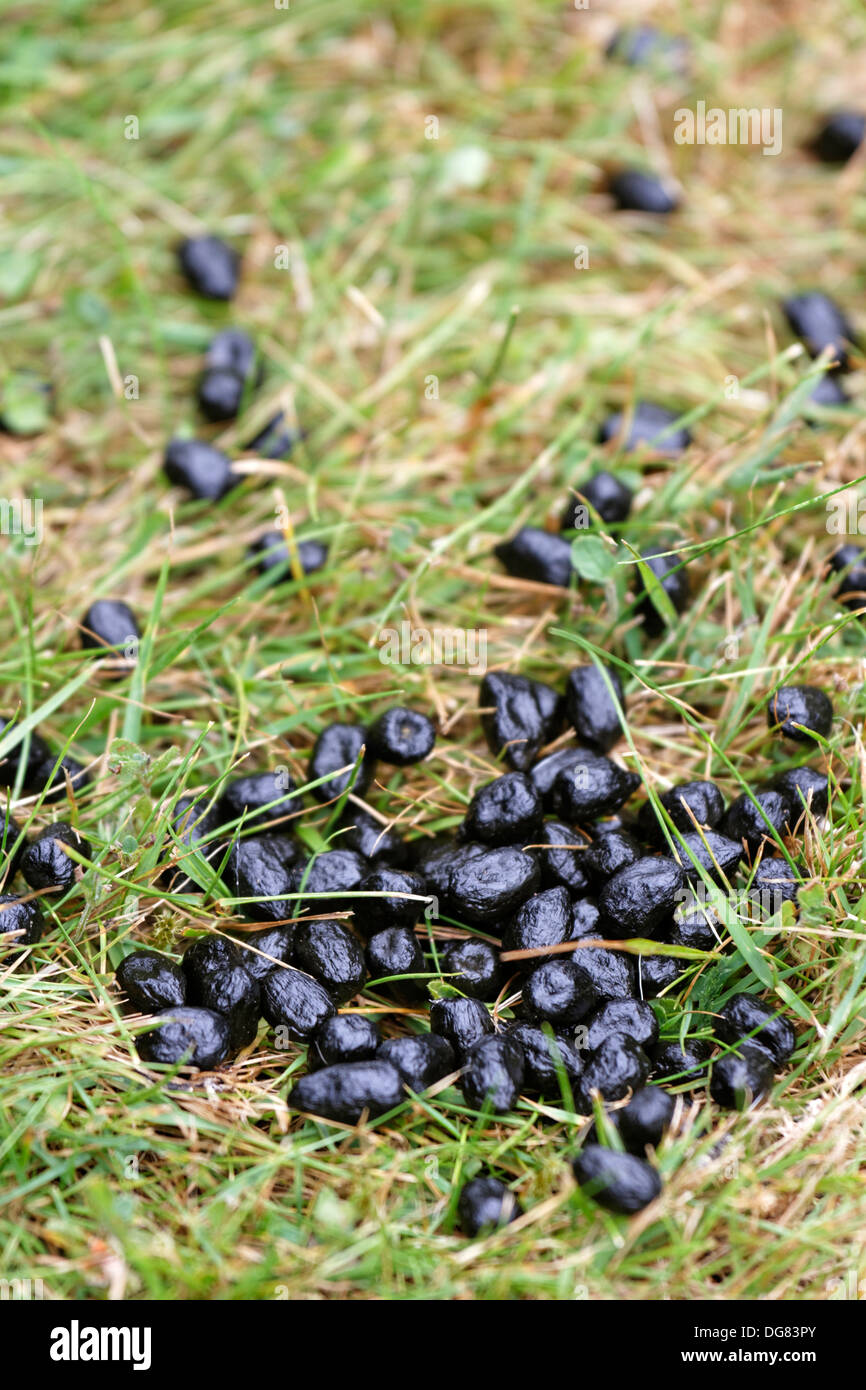 Rotwild Kot Auf Dem Rasen Im Garten Stockfoto Bild 61644211 Alamy