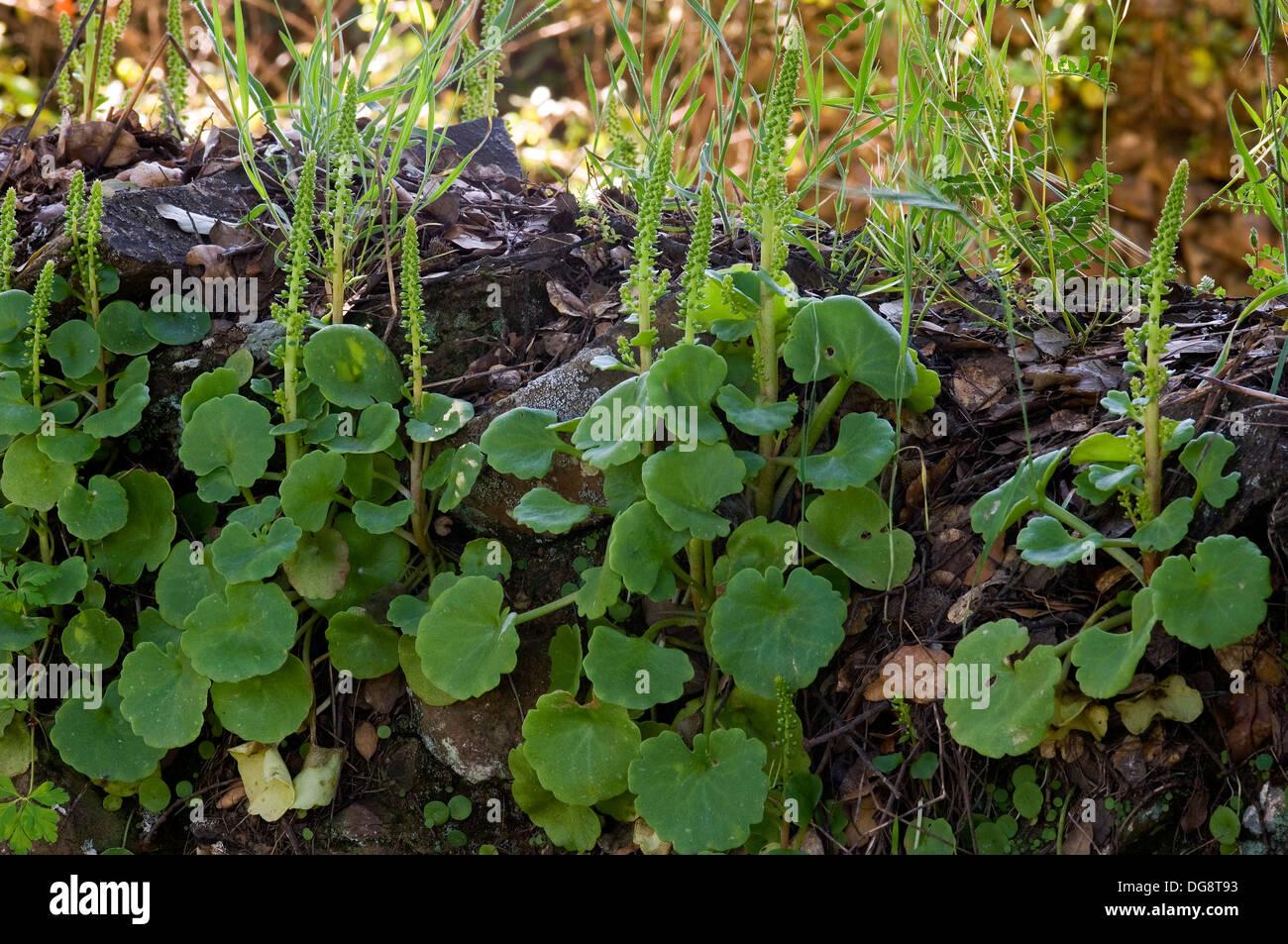 Schambein der Nabel (Umbilicus Rupestris). Natürlichen Park von ...