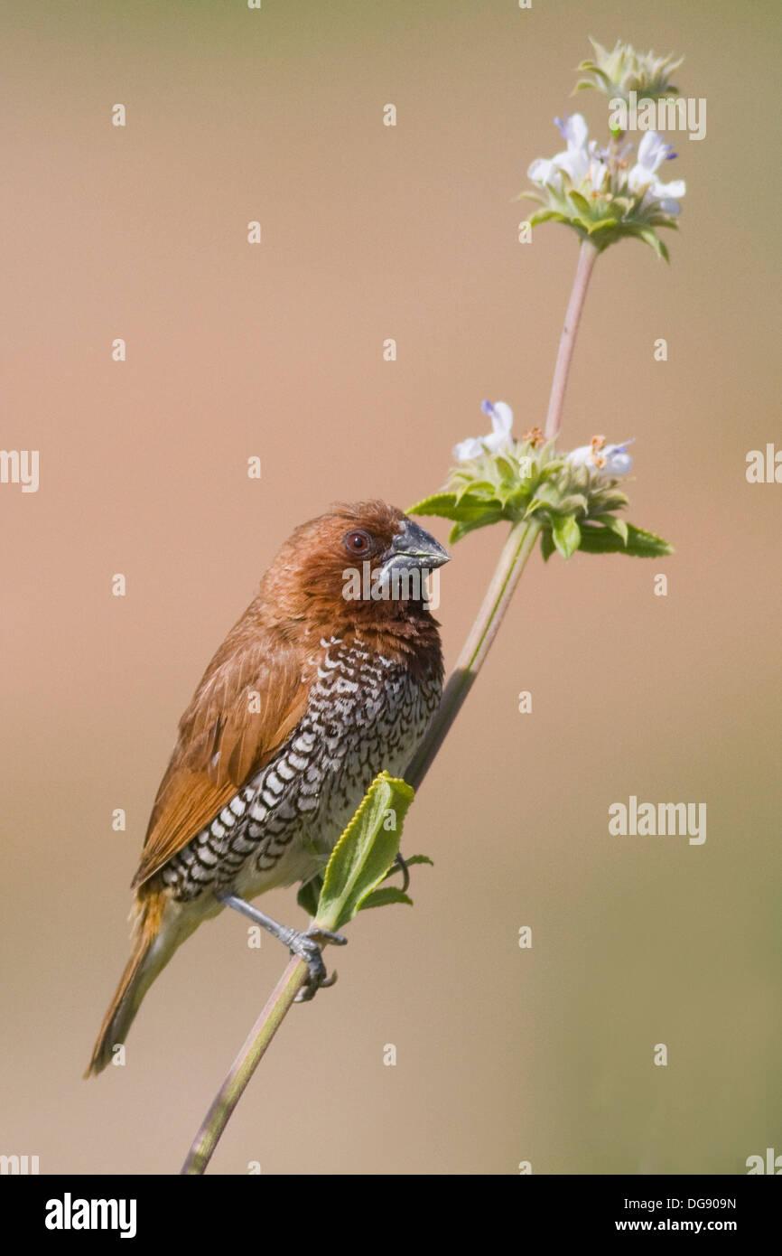 Muskatnuss Männchen fordert ein Gewürz Fink, ein wilder Vogel, ein Werk von Klee. (Lonchura Punctulata). Stockbild