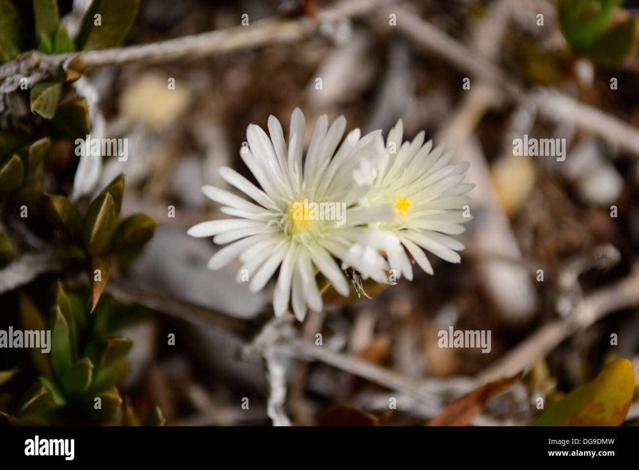 flowers fynbos stockfotos flowers fynbos bilder alamy. Black Bedroom Furniture Sets. Home Design Ideas