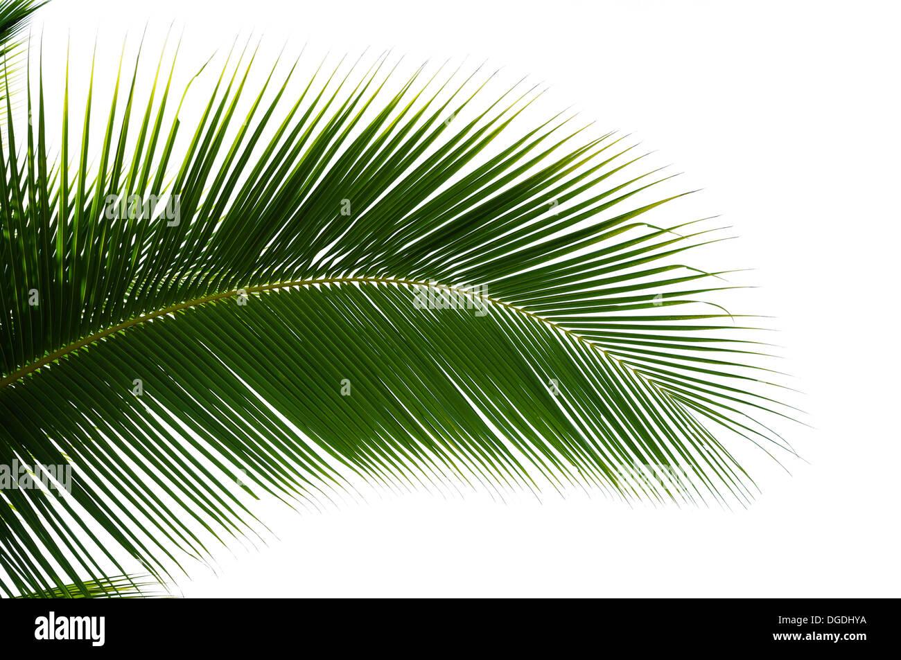 Blatt der Kokospalme, die isoliert auf weißem Hintergrund Stockbild