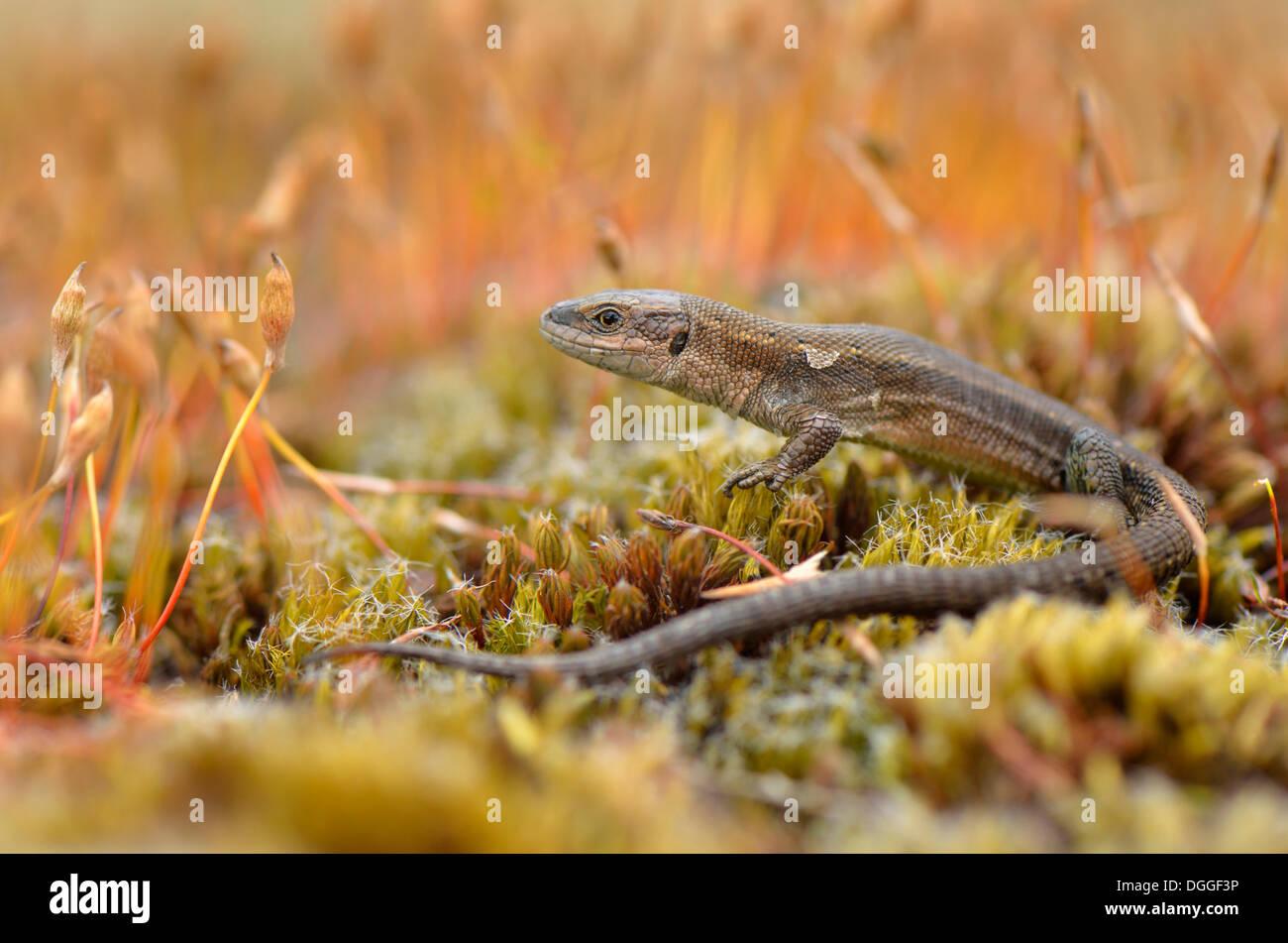 Vivipare Eidechse oder gemeinen Eidechse (Zootoca Vivipara), Erwachsene, unter Moos Sporen, Dortmund, Ruhrgebiet Stockfoto