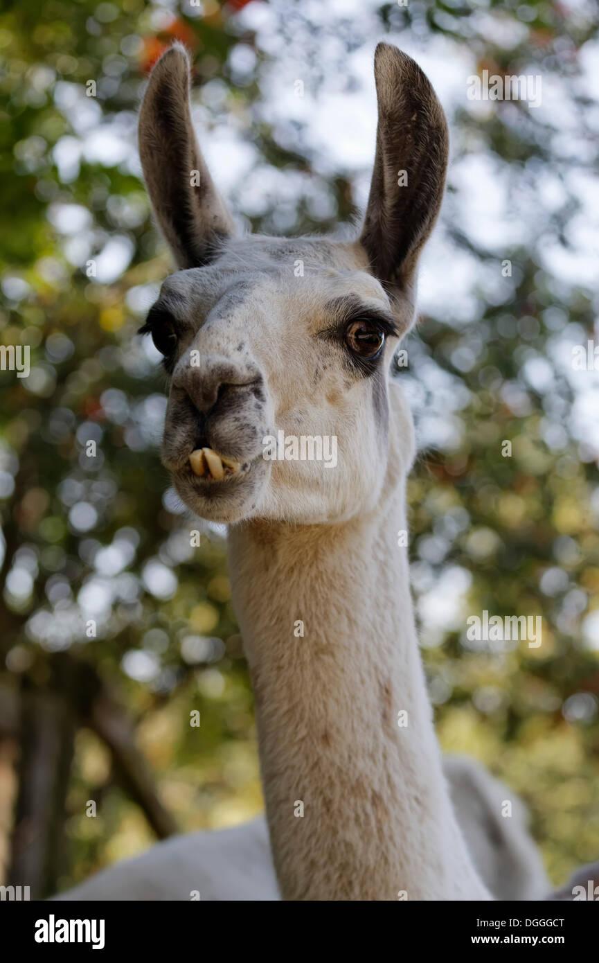 Lama (Lama Glama), Porträt, Tierwelt Herberstein, World of Animals, Buchberg bei Herberstein, Stubenberg, Hartberg, Stockbild