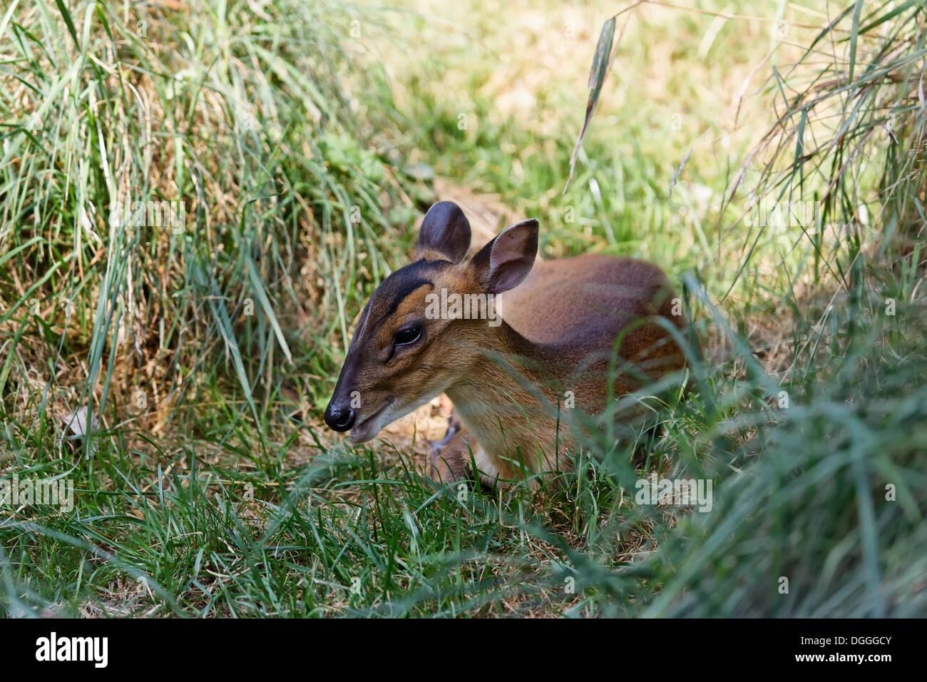 Die Reeves Muntjak (Muntjacus Reevesi), Tierwelt Herberstein, World of Animals, Buchberg bei Herberstein, Stubenberg, Stockbild