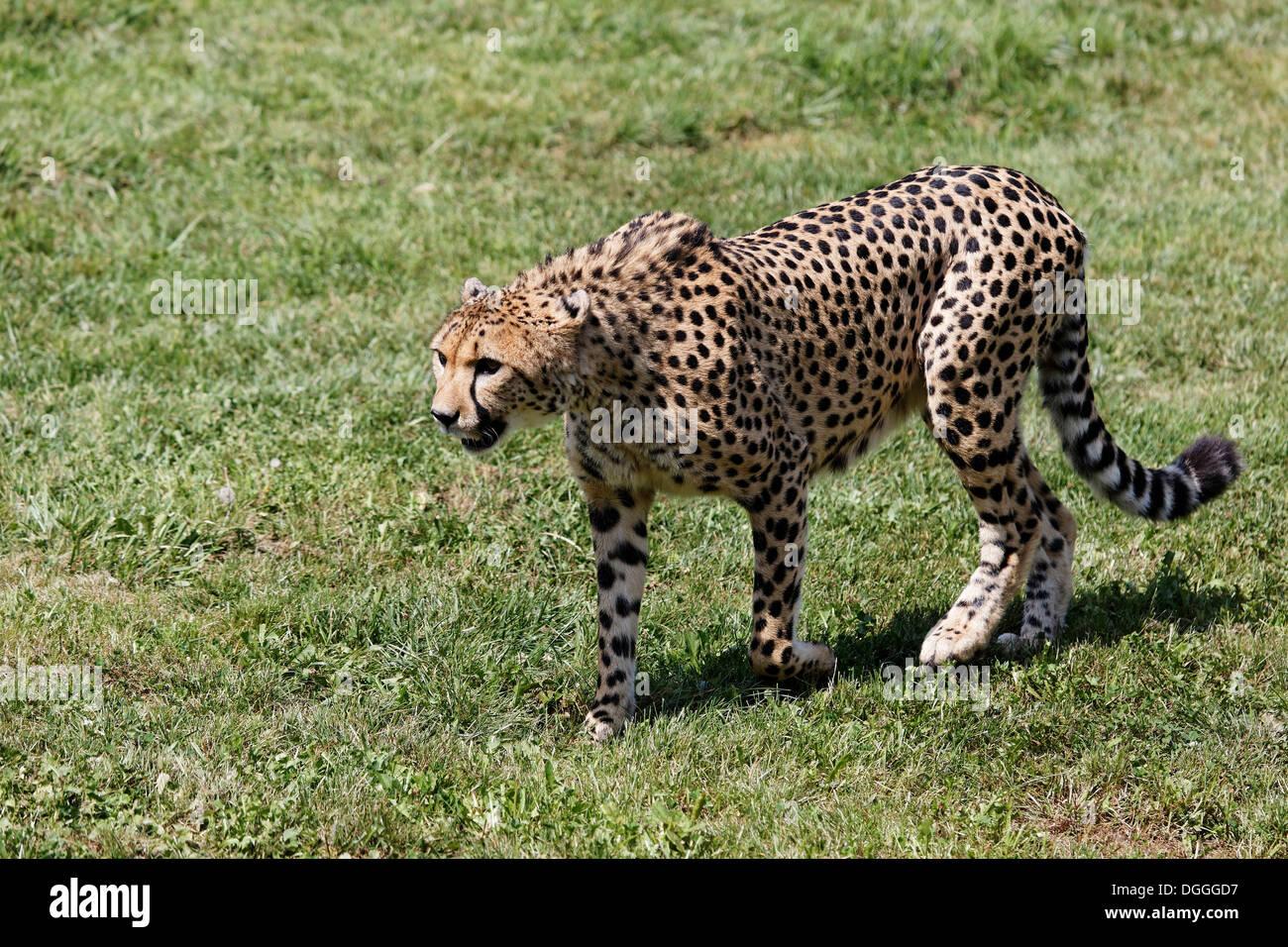 Gepard (Acinonyx Jubatus), Tierwelt Herberstein, World of Animals, Buchberg bei Herberstein, Stubenberg, Hartberg, Stockbild