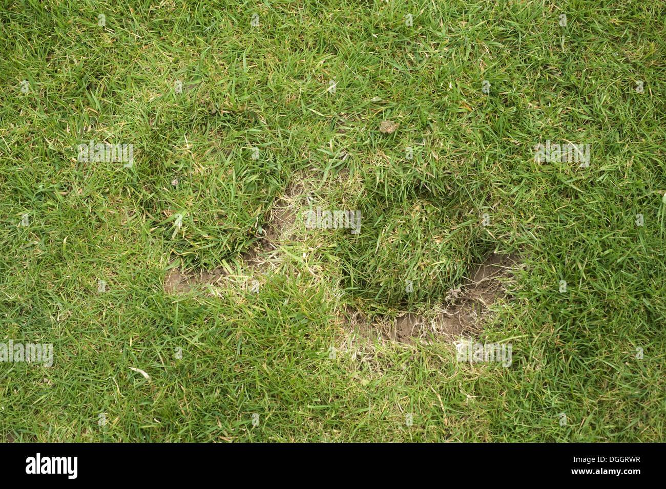 Pferd Huf druckt Schäden an eine Wiese im Garten Stockbild