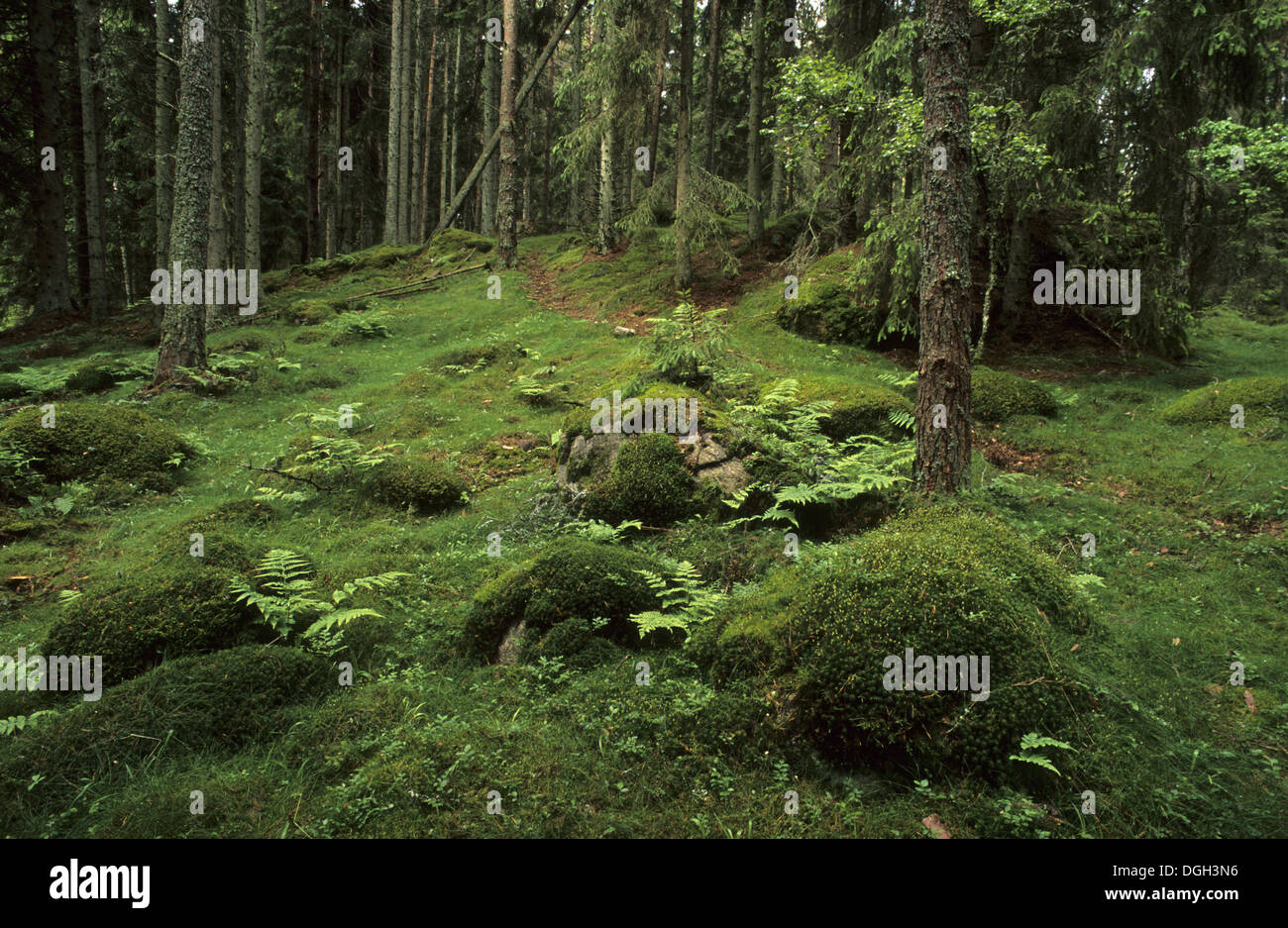 alten borealen nadelwald innen mit moos bedeckten felsen und farne auf waldboden vastergotland. Black Bedroom Furniture Sets. Home Design Ideas