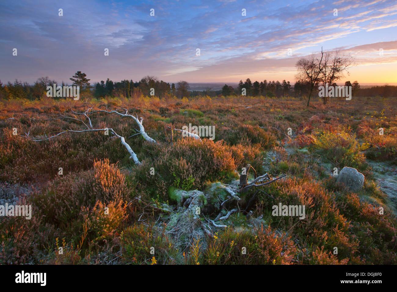 Gefallenen Silber Birke auf restaurierten Heide. Stockbild