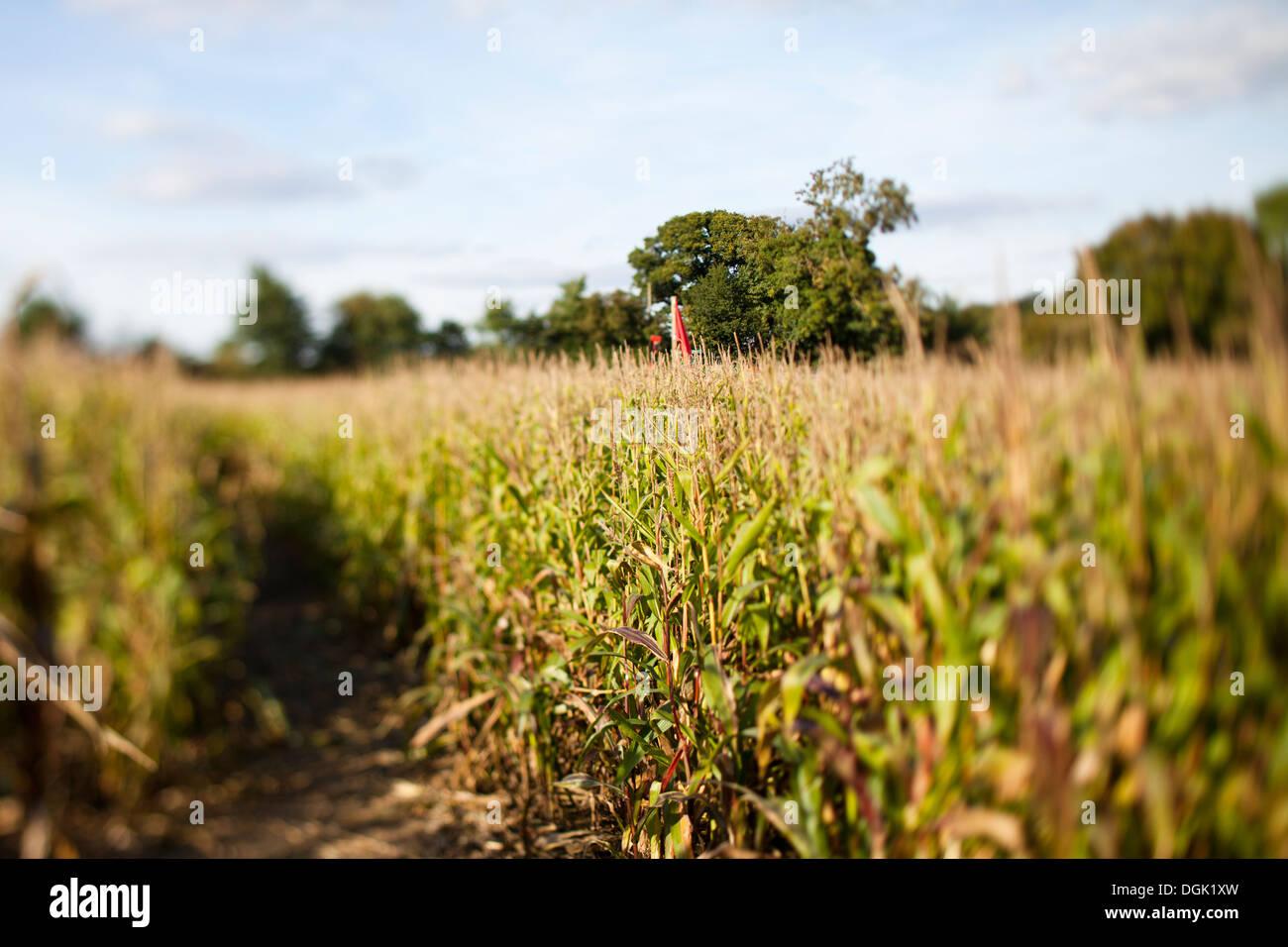 das erstaunliche Maislabyrinth