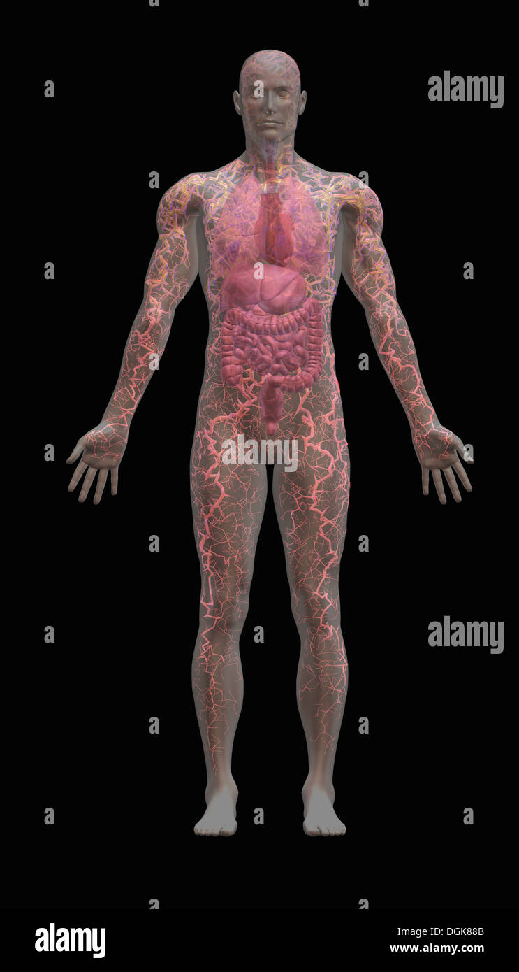 Transparente männlichen menschlichen Körpers zeigen, innere Organe ...