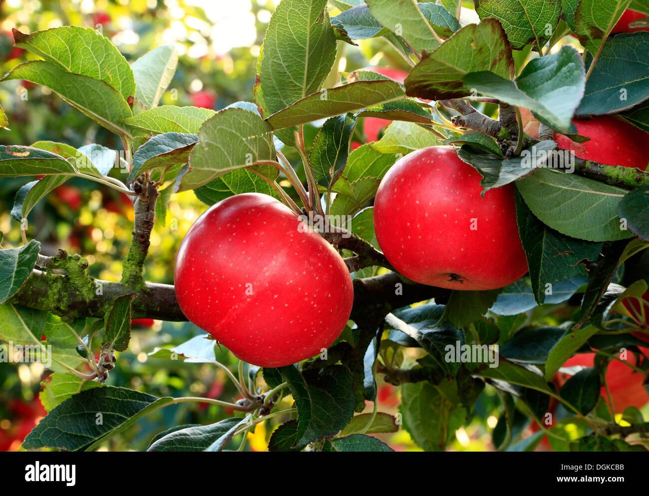 Apfel 'Entdeckung' Malus Domestica, Äpfel, benannt verschiedene Sorten wachsen auf Baum Stockbild