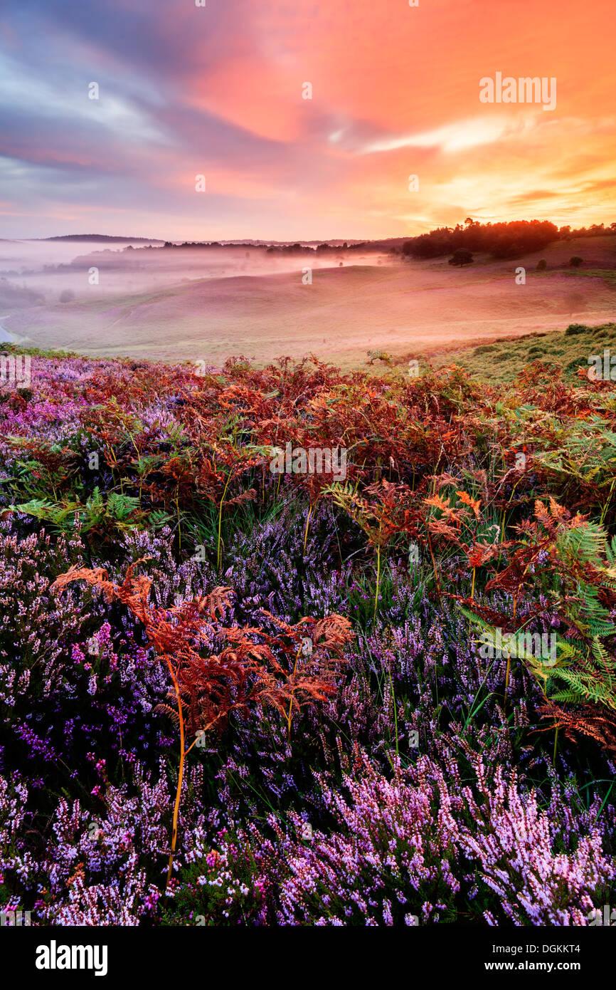 Heather und Bracken bei Sonnenaufgang auf gemeinsame Rockford im New Forest. Stockbild