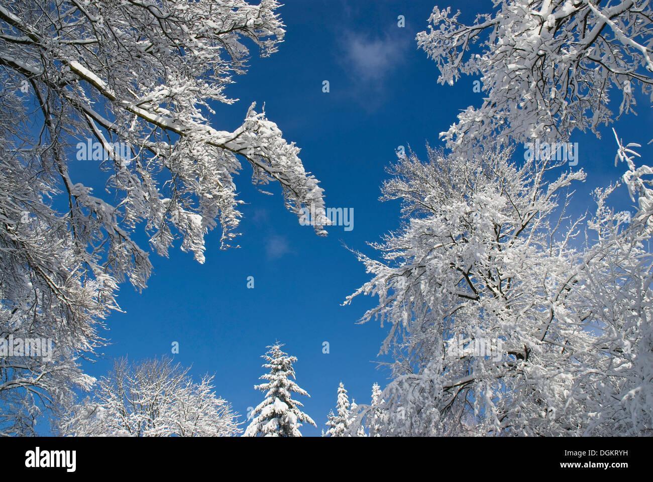 Blick auf den Himmel zwischen schneebedeckten Baumwipfel, tiefblauen Himmel Stockbild