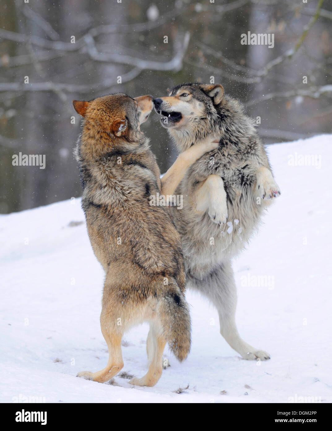 zwei w lfe k mpfen ber hierarchie mackenzie wolf alaskan tundra wolf oder kanadischen timber. Black Bedroom Furniture Sets. Home Design Ideas