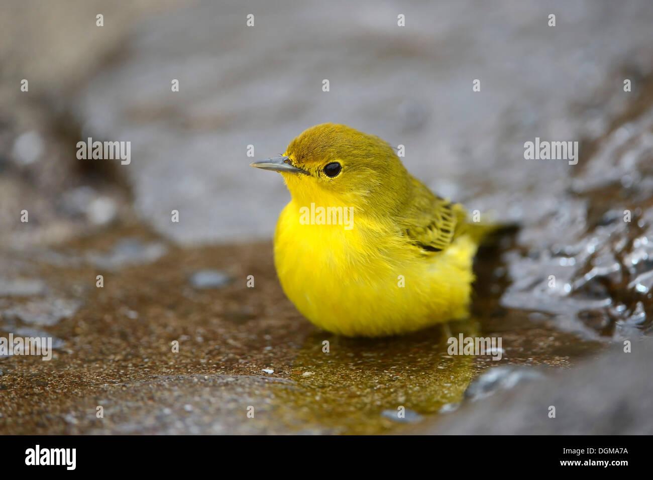Schnäpperrohrsänger (Dendroica Petechia Aureola), Altvogel, Männlich, Punta Cormoran, Floreana Insel, Galapagos, Ecuador Stockbild
