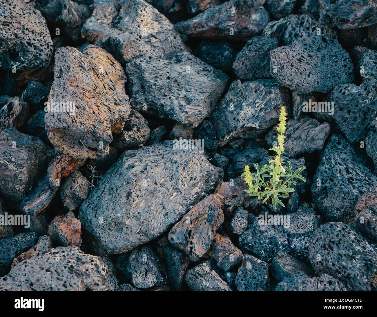 kleiner grüner Trieb Vulkangestein verfestigte Lava Felder Krater des Moon National Monument Snake River Plain zentralen Idaho Stockbild