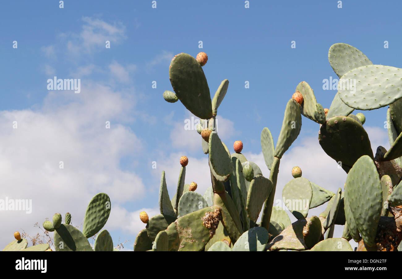 Kaktusfeigen Kaktus gesehen auf der spanischen Insel Mallorca. Stockbild